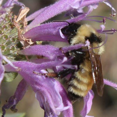 Golden bumble bee (Bombus fervidus) nectaring on bee balm (deep drink!)
