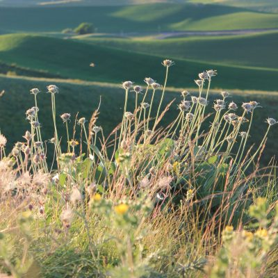 Balsam arrowroot in soft sunlight, Kramer Prairie, eastern Washington