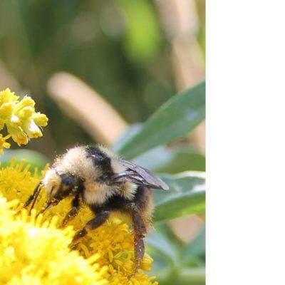 The bifarius bumble bee (Bombus bifarius) nectaring on golden flowers on Moscow Mnt of northern Idaho