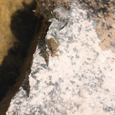 Macroinvertebrate over granite shard in S. Fork of the Flathead River