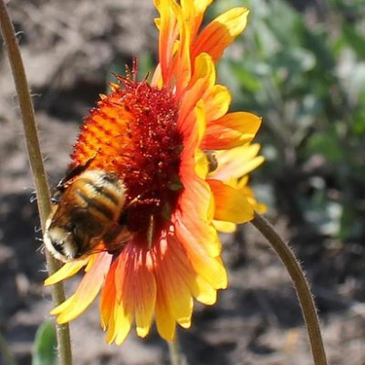 The mountain bumble bee (Bombus appositus) on blanket flower on southeast side of Paradise Ridge, northern Idaho