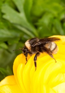 Bombus_occidentalis
